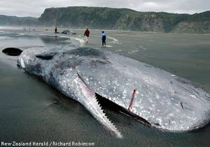 NEW ZEALAND WHALE DEATHS